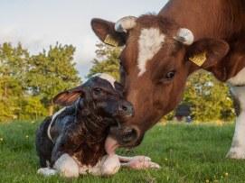 New_born_Frisian_red_white_calf